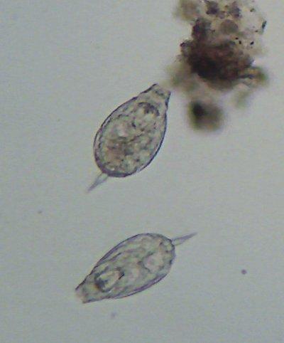lecanidae_3.jpg