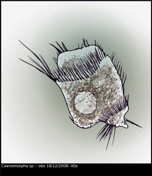 caenomorpha_sp_web.jpg