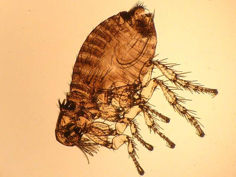 Spilopsyllus cuniculi entier-800.jpg