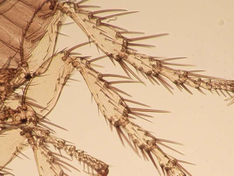 Spilopsyllus cuniculi pattes-800.jpg