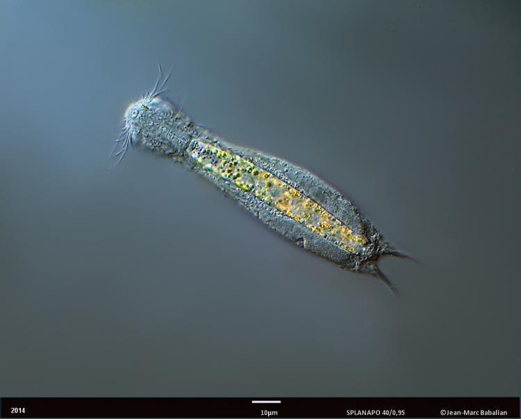 aspidiophorus 40 DIC 25-11-14 f.jpg