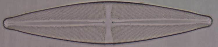 Diatomée.png