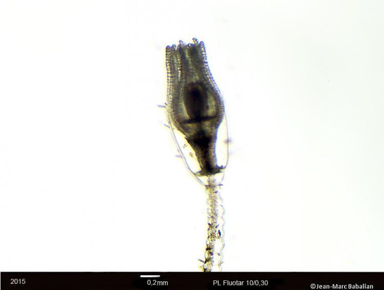 Obelia geniculata 10-FC-28-12-15b.jpg