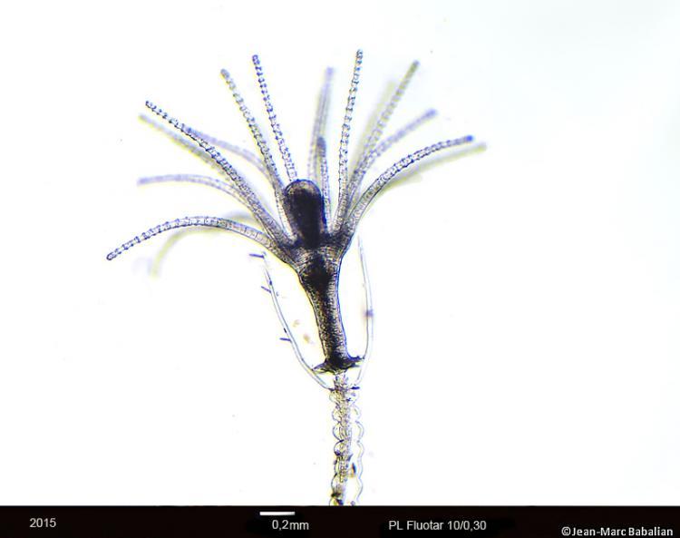 Obelia geniculata 10-FC-28-12-15a.jpg