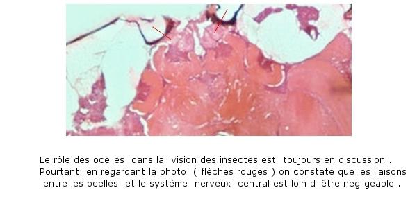 abeille texte 14.jpg