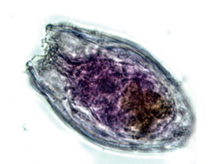 anuraeopsis2.jpg