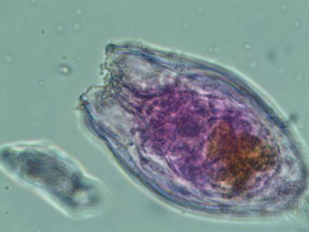 Anueropsis navicula navicula VV'.jpg