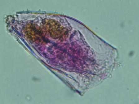 Anueropsis navicula navicula VL.jpg