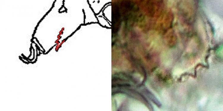 echiniscus testudo trifilis.JPG