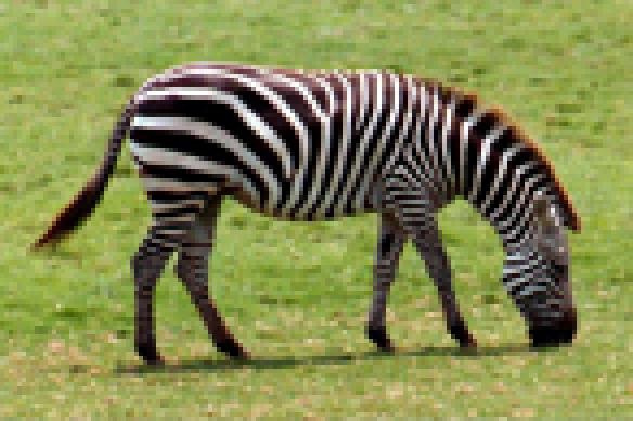 zebre1.png