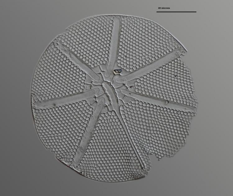 asteromphalus ralfsianus 23_V9.jpg