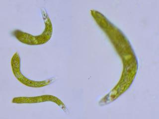 euglena_intermedia.jpg