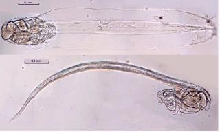 larvafa.jpg
