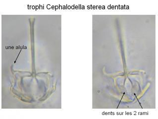 trophi2.jpg