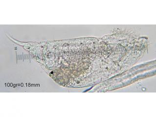 C.megalocephala_1f.jpg