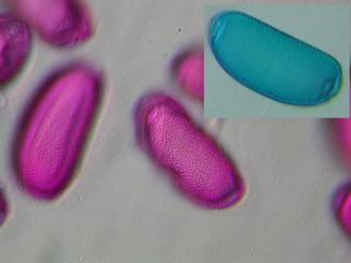 bulbocodium_3.jpg