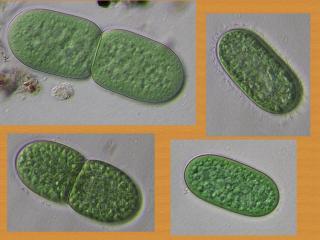 synechococcus.jpg