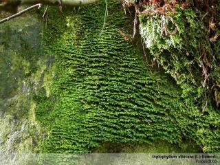 Diplophyllum_albic1.jpg