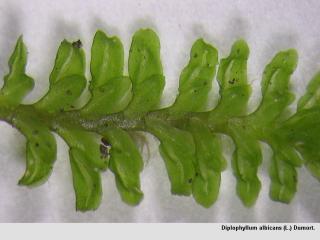 Diplophyllum_albicans_L_Dumort.jpg