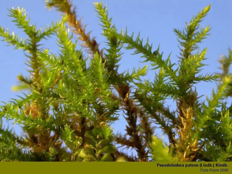 Pseudoleskea patens lindb kindb bryophytes mikroscopia for Portent feuilles