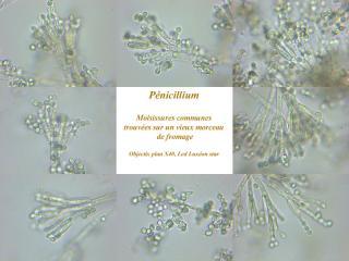 penicillium.jpg
