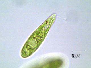 euglgracil_6.jpg