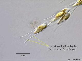 Dinobryon.jpg