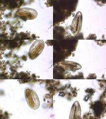 diatomophage.jpg
