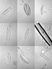 planche_diatome.jpg