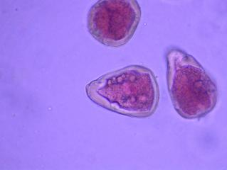 Carex_glau2.jpg