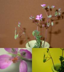bec_de_grue_fleur.jpg