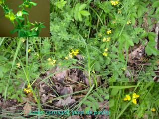 lotier_cornicule_fleurs.jpg