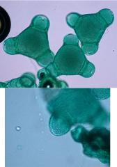 oenothera_22.jpg