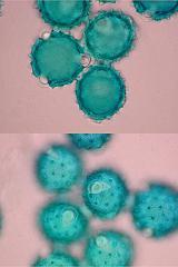 cirsium_oleaceum.jpg